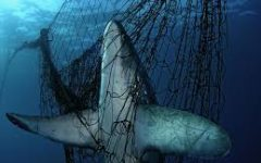 Shark caught in fishing net. Photo courtesy of WWF.
